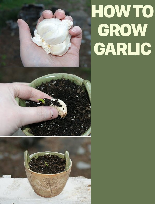 How to Grow Garlic! Fall is the perfect time to plant garlic so you can harvest next spring! Just one clove of garlic can produce up to an additional twenty cloves! So instead of tossing out your garlic that's started to sprout, plant it outside now instead!
