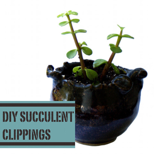 Making New Succulent Plants with Clippings from Existing Plants - Great for Handmade Gift Ideas and Favors