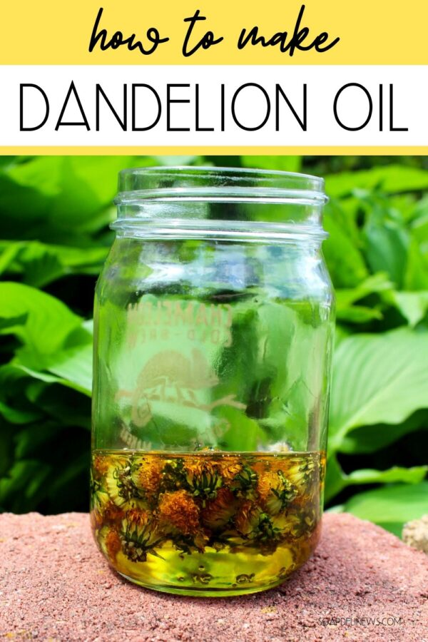 How to make dandelion infused oil for natural skin care recipes and a homemade dandelion soap recipe with essential oils. Learn about the health and skin care benefits of dandelion plus learn how to make dandelion infused oil recipes with this simple tutorial. Forage for dandelions, learn how to dry botanicals quickly (without using any energy!) and then make a dandelion infused oil. Craft natural DIY dandelion soaps with dandelion infused hemp seed oil and lavender and orange essential oils.